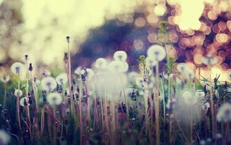 dandelions bokeh lights plant grass photo nature hd wallpaper