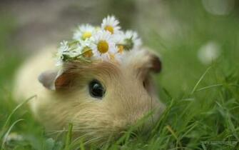 Cute Animal   Cavy Wallpaper More PC Wallpaper for Your Desktop