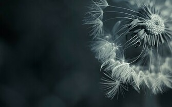 1280x800 Dandelions desktop PC and Mac wallpaper