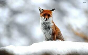 Cute fox wallpaper   Animal wallpapers   25583