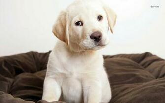 Labrador Puppy wallpaper   Animal wallpapers   4873