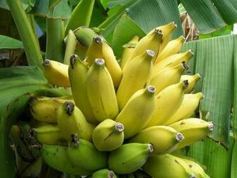 Yellow Banana Tree Pictures Mobile tablet print wallpaper