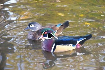 Wood Duck Wallpapers