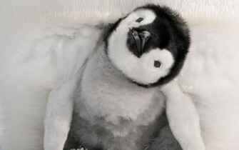 Ultimately cute precocious penguin chick If a young Emperor chick