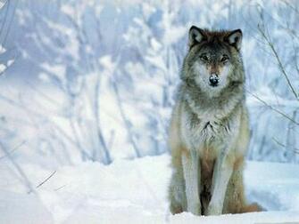 download wolf hd wallpaper widescreen ImageBankbiz