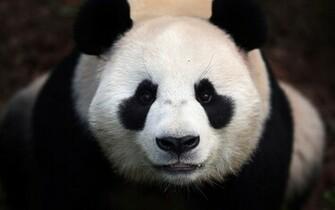 Close up photo of a panda bear HD Animals Wallpapers