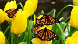 Monarch Butterflies Wallpaper Desktop Butterfly Butterflies Monarch