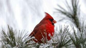 Cardinal Bird HD Wallpaper   WallpaperFX