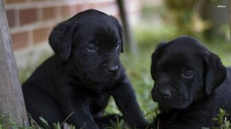 Black Labrador Puppies wallpaper   Animal wallpapers   27901