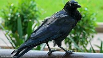raven australian black bird hd widescreen wallpaper birds