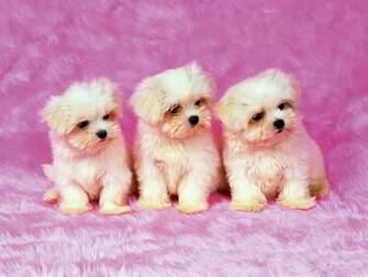 Cute Puppies Pictures Wallpaper of Dog Breeds