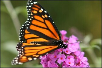 Monarch Butterfly Wallpaper Latest Images ubxx7ic6 Yoanu