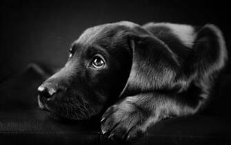 Wallpaper Hd Black Labrador Puppy   Litle Pups