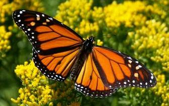 Pics Photos   Monarch Butterfly Wallpaper