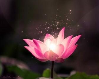 free lotus flower wallpaper lotus dream wallpaper lotus flower hd