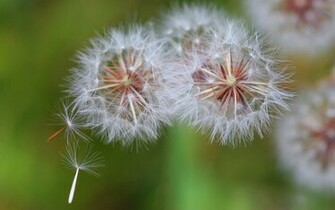 Dandelion Seeds Blowing in Wind   Wild Flower Background   1680x1050