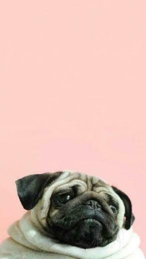 Pug wallpaper I just love it p u g Pug wallpaper Pugs Dog
