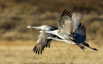 crane flamingos south africa swamp animal planet wallpaper wild