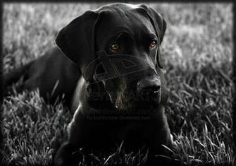 Black Lab Mastiff Labrador Ret