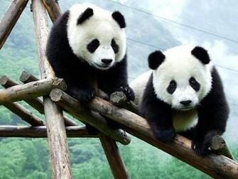 panda wallpapers beautiful forest bear black white cute panda panda