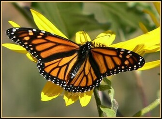 Monarch Butterfly 30 Desktop Background Wallpaper