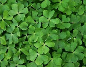 Irish Clover Background Irish clover b