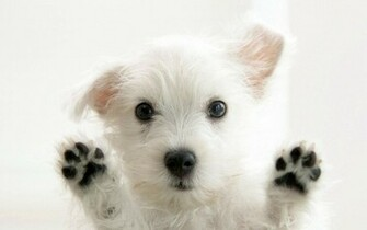 Cute White Puppy HD Wallpapers