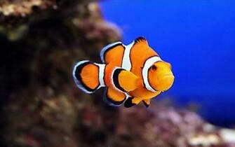 CLOWN FISH WALLPAPER   75948   HD Wallpapers   [wallpapersinhqpw]