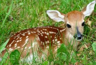 Animal Wallpapers Animal Deer Wallpapers