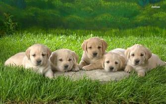 Labrador Retriever Wallpapers For Desktop   The Dog Wallpaper   Best