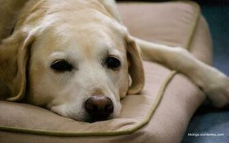 The Dog Blog Rose and Gollum are Labrador retrievers in Halifax