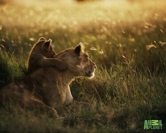 Animal Planet Wallpaper Download   lion cub