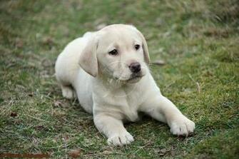 Labrador Retriever puppy photo and wallpaper Beautiful Labrador