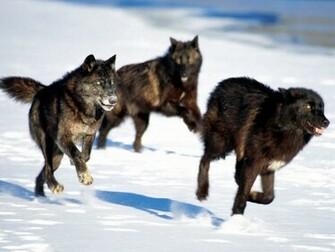 Black Wolf HD Wallpapers Download Black Wolf Desktop HD Wallpapers