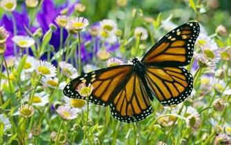 Download Wallpaper Monarch Butterfly in a Daisy Field