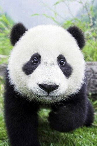 Panda Bear Closeup iPhone 4s Wallpaper Download iPhone Wallpapers