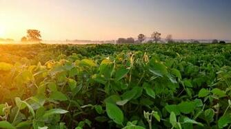 Wallpaper Soybean field fog dawn morning 3840x2160 UHD 4K