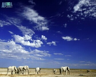 Animal Planet Wallpaper Download   elephants desert