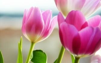 Pink Tulip desktop wallpaper