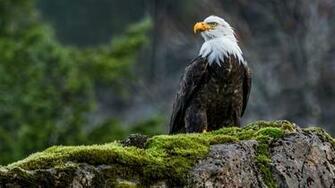 animals Nature Wildlife Eagle Birds Moss Bald Eagle