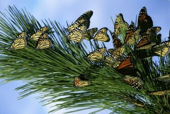 MONARCH BUTTERFLIES wallpaper   ForWallpapercom