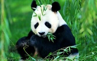 Save The Panda Bears   Flora and Fauna Wallpaper 18586480