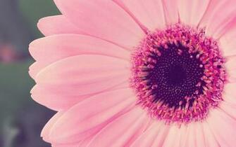 Pink Flower Desktop Wallpapers