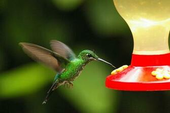 of Desktop Wallpapers Humming Bird feeding honey desktop wallpapers