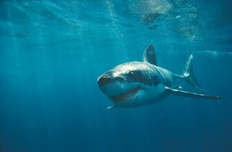 Wallpapers Box The Great White Shark Hi Def Wallpapers