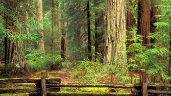Redwood Forest Wallpaper   52DazheW Gallery