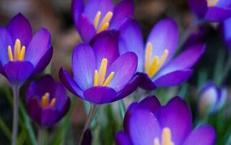wallpapers Purple Crocus Flowers Wallpapers