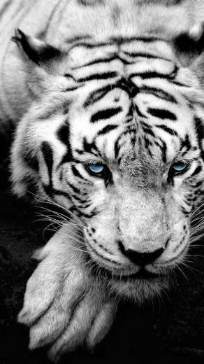 White tiger   Best iPhone 5s wallpapers