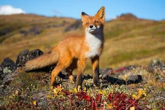 fox Animals Wildlife Wallpapers HD Desktop and Mobile