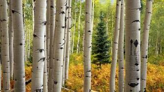 Aspen Tree Wallpaper 54 images